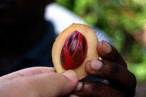 Nutmeg and Mace in the pericarp fruit