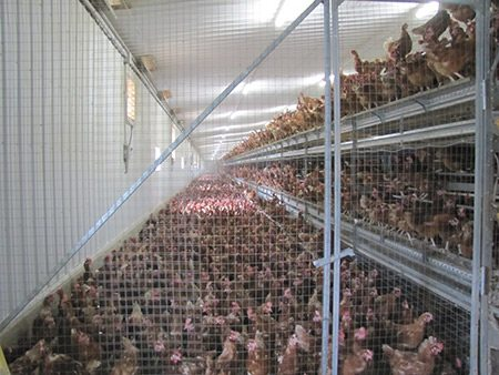 Hens housed in battery cages misrepresented as cage free.
